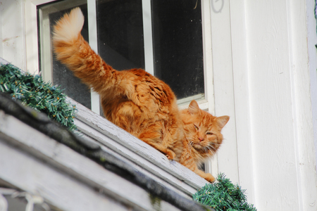 window sill: A golden tabby cat has found comfortable refuge on a window sill.