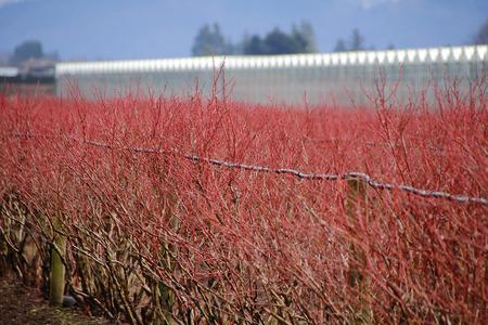 natures: Natures deep crimson red lights up winter blueberries.