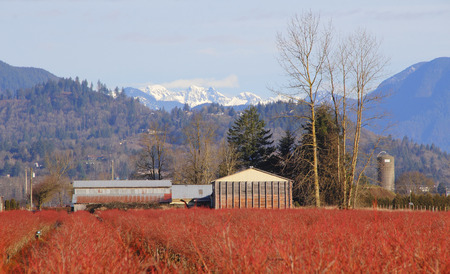 snow capped mountain: A Blueberry farm tucked away and surrounded by a snow capped mountain range.