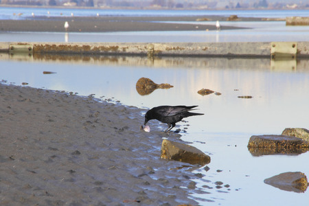 finds: A Blackbird finds a clam shell on a beach. Stock Photo
