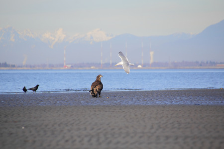 scavenging: An eagle keeps its eyes on a scavenging sea gull as they search for clams on the beach. Stock Photo