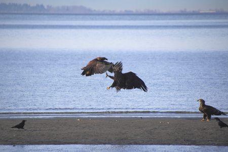 clawing: Two adult eagles attack to claim their territory.