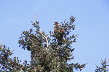 establishing: A young eagle sits on the top of a tree indicating its maturity.