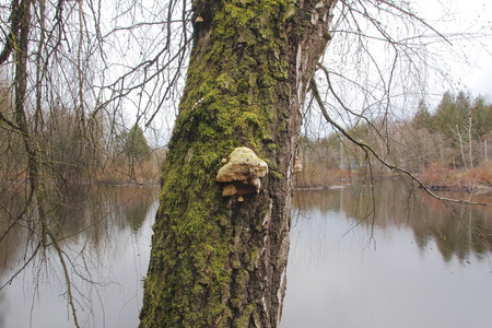 bracket: Tinder Bracket fungus growing on tree trunk bark. Editorial