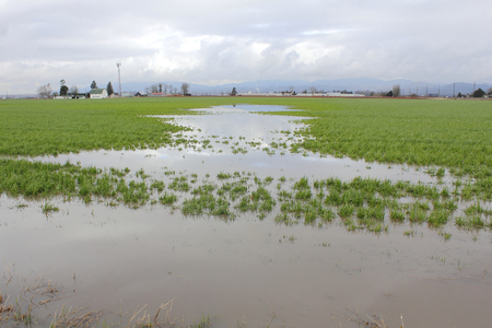 inundated: Acres of farm land has been inundated with rain resulting in flooded fields.