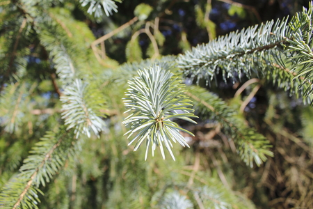 signifies: A faded green on the needles signifies new growth on a Pine tree.