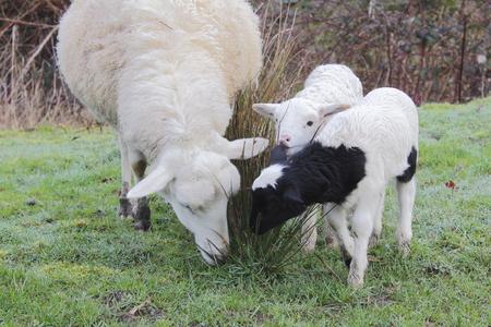 offspring: Oveja, ovejas, cordero, juntos, familia, madre, fuera de la primavera, pequeño, dos, consumición, pasto, unión, tres, blanco y negro, amor, protección, granja, animales, animales de granja, cerca, Foto de archivo