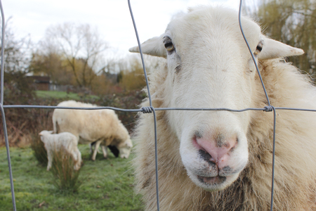 wire fence: A curious Ram looks through a wire fence as his family grazes in the background.