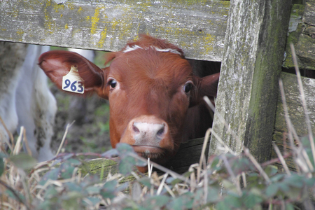 peers: A curious one year old Irish Dexter dairy cow peers through the fence. Stock Photo