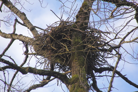 unoccupied: An isolated view of an unoccupied eagles nest.