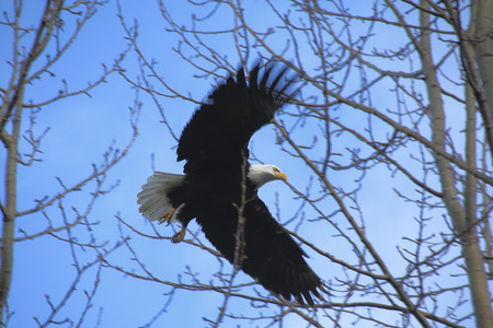 despite: Despite its size, an eagle maneuvers between the tree branches.