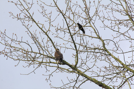 A Blackbird harasses a young eagle sitting in the trees.