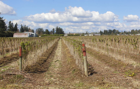 acres: Acres of raspberry plants respond to the Spring warmth.