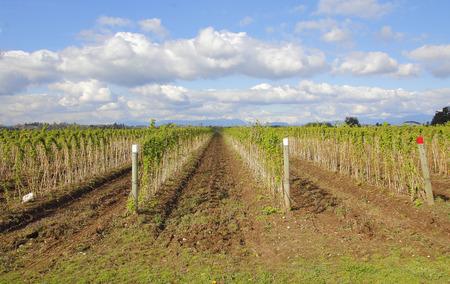 acreage: The raspberry crop is starting to green on a Washington farm.