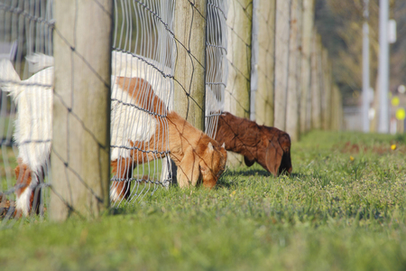 other side of: Two goats find the grass is greener on the other side of the fence Stock Photo