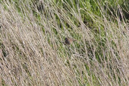 balances: A common brown sparrow balances on tall, dry grass. Stock Photo