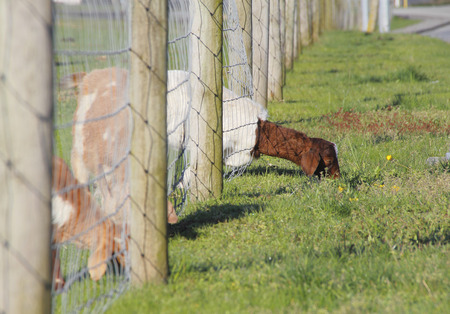 other side of: An adult goat finds the grass is greener on the other side of the fence.