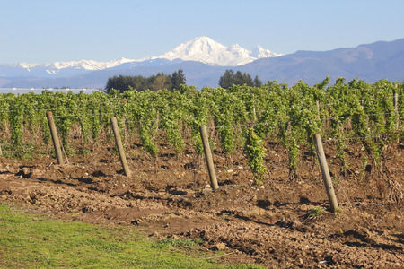 mount baker: The iconic Mount Baker overlooking Washingtons berry crops.