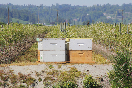rented: A farmer has rented bee boxes that will be used to pollinate his blueberry crop.