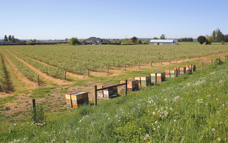 acres: Bee boxes are neatly lined up where bees can pollinate multiple acres of berry crops. Stock Photo
