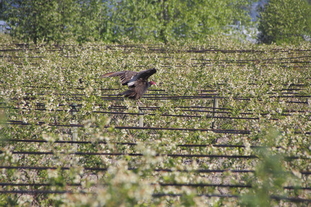 turkey vulture: A young, female Turkey Vulture lands on irrigation hoses used for watering the blueberry crop.