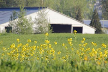 Wilde mosterd wiet komen vaak voor in de hele wereld en is verantwoordelijk voor de vermindering van de gewasopbrengsten. Stockfoto