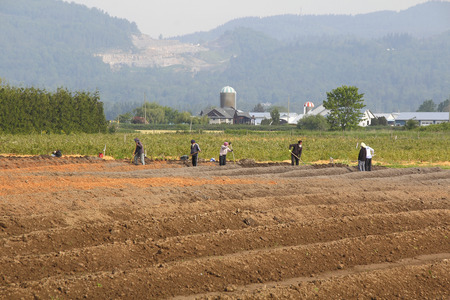 indo: Indo Canadian farm workers prepare the land for spring planting.