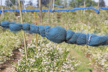 scavenging: Blueberry netting will soon be unwrapped to protect berries from birds scavenging.