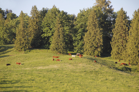 cattle grazing: A small herd of cattle enjoy outdoor grazing and freedom on a green, lush hillside.