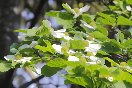 Abundant and beautiful, white magnolia trees bloom during the spring season. 스톡 콘텐츠