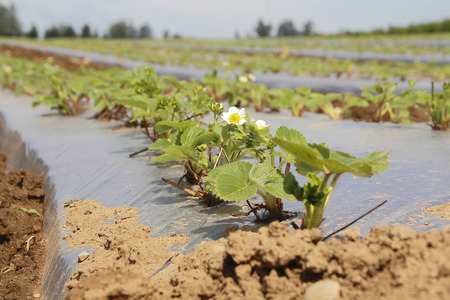 commercially: Acres of commercially grown strawberries in early spring.