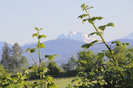 snow capped mountain: A thorny, wild Blackberry branch reaches up against a snow capped mountain background. Stock Photo