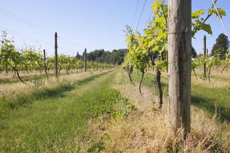 west  coast: A small hobby vineyard on Canadas west coast. Stock Photo