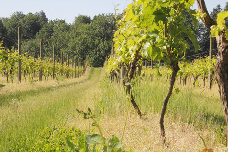 west  coast: A small Canadian vineyard on the west coast. Stock Photo
