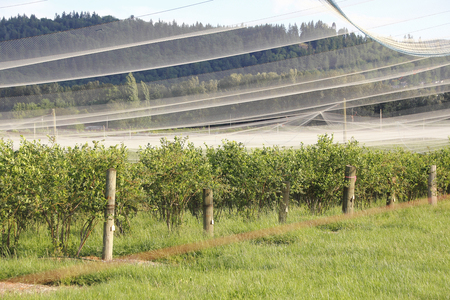 Thin netting is draped over a blueberry crop to protect against scavenging birds. Stock Photo