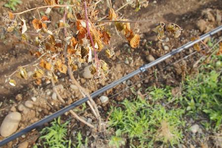 despite: Despite irrigation, a raspberry crop is dying.
