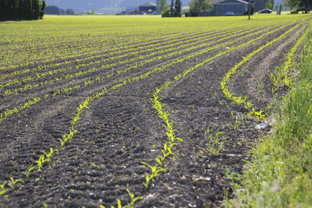 acreage: The morning sun has turned rows of sprouting corn a bright, neon green.