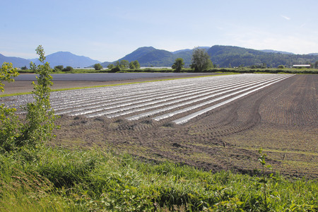 acreage: Many long rows of freshly planted strawberries will be ready for commercial sale in a few months. Stock Photo