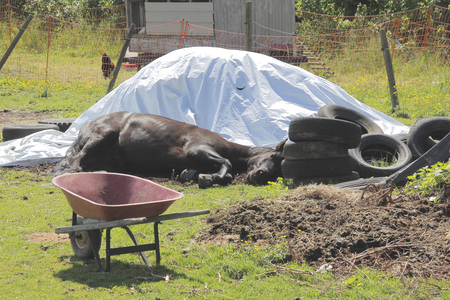 contented: A contented horse has found comfort beside the old tires and covered hay pile.