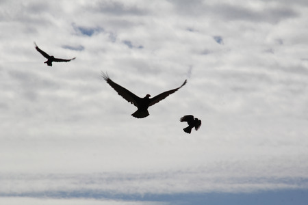 turkey vulture: A Turkey Vulture is attacked and harassed by a pair of crows.