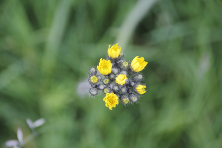 pervasive: A delicate cluster of wild Mustard flower pervasive on the North American west coast.