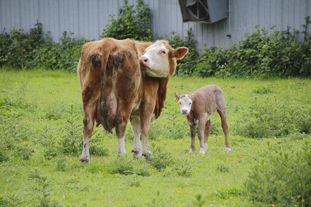 jersey cow: A Jersey dairy cow stands grooming with her calf.