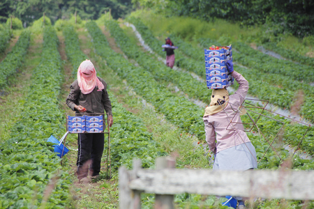 canadian pacific: East Indian laborers pick strawberries in Abbotsford, British Columbia on May 25, 2016.