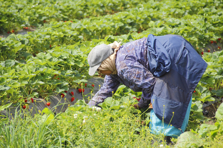 laborers: East Indian laborers pick strawberries in Abbotsford, British Columbia on May 25, 2016.