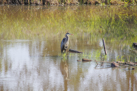 establishing: An adult Blue Heron stands patiently in a marsh. Stock Photo