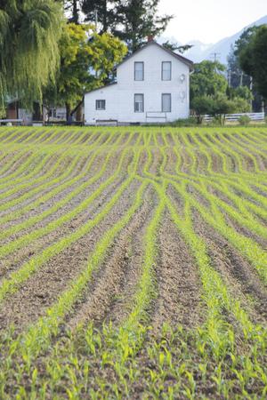 acreage: Corn is just starting to emerge on a farm acreage.