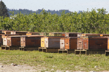 Bees swarm above commercial honey boxes near a blueberry field. Фото со стока