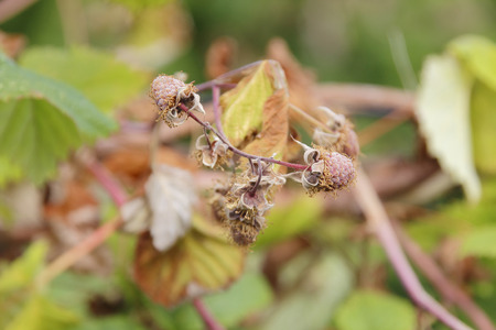 devastated: Severe drought has devastated a raspberry crop.