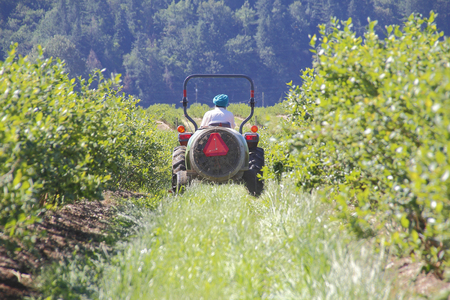 indo: An East Indian farmer drives a small tractor through his blueberry field.