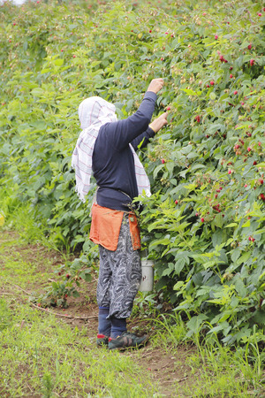 An East Indian woman collects berries on a Canadian farm.